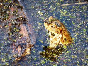 Kröte am Rande des großen Montiggler See, © Lisa K. Schuermann