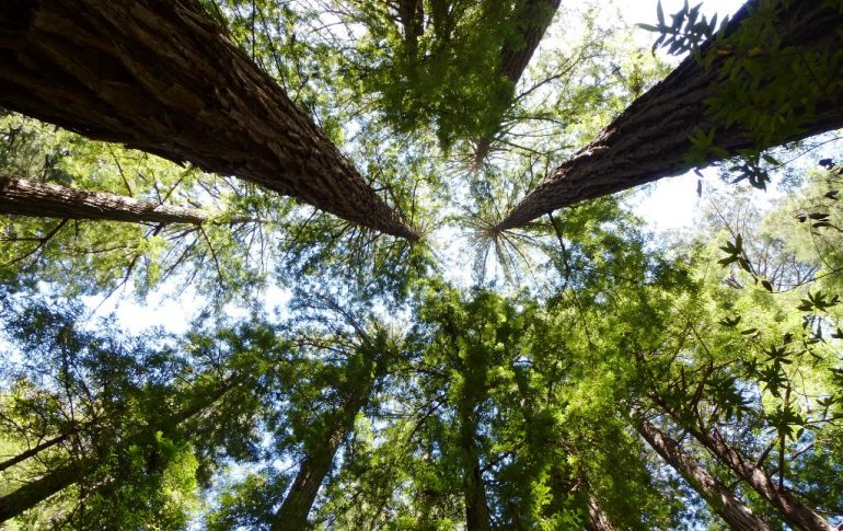 wandern-usa-muir-woods-redwoods-coyright-lisa-k-schuermann