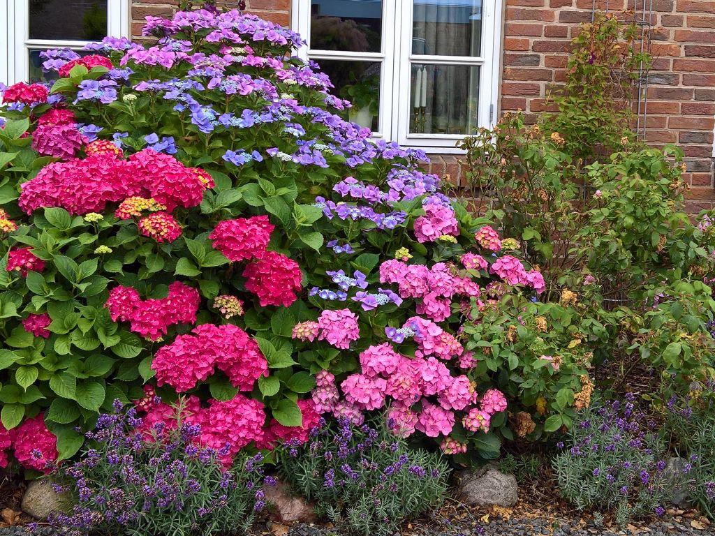 Das Bild zegt einen Vorgarten mit Hortensien, die in verschiedenen Farben blühen. Das Bild ist von Lisa K. Schuermann.